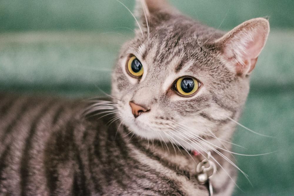 portrait of male tabby cat