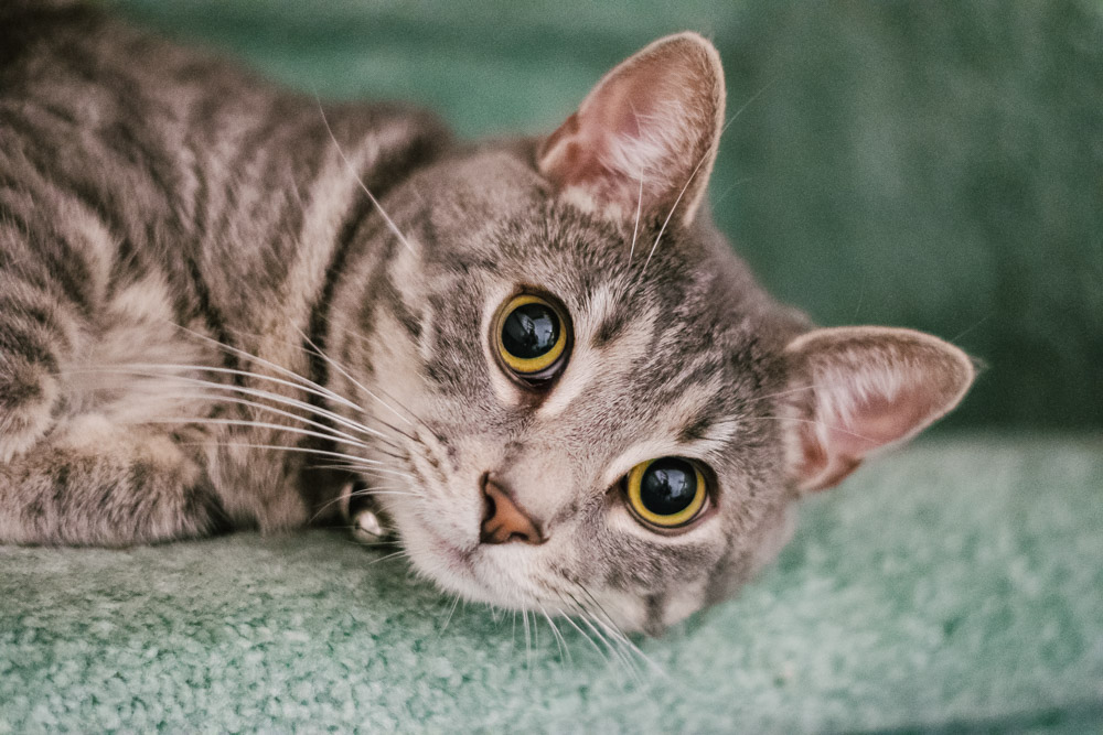 rescued cat with stripes