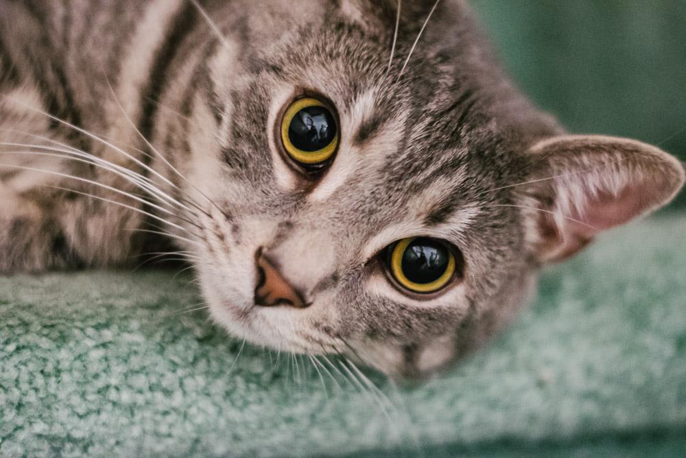 rescue animal tabby cat