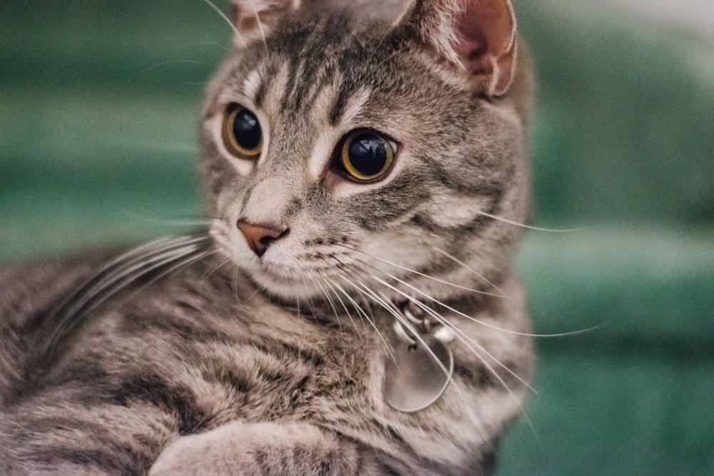 striped cat pet portrait