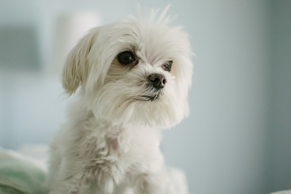 Maltese dog pet portrait
