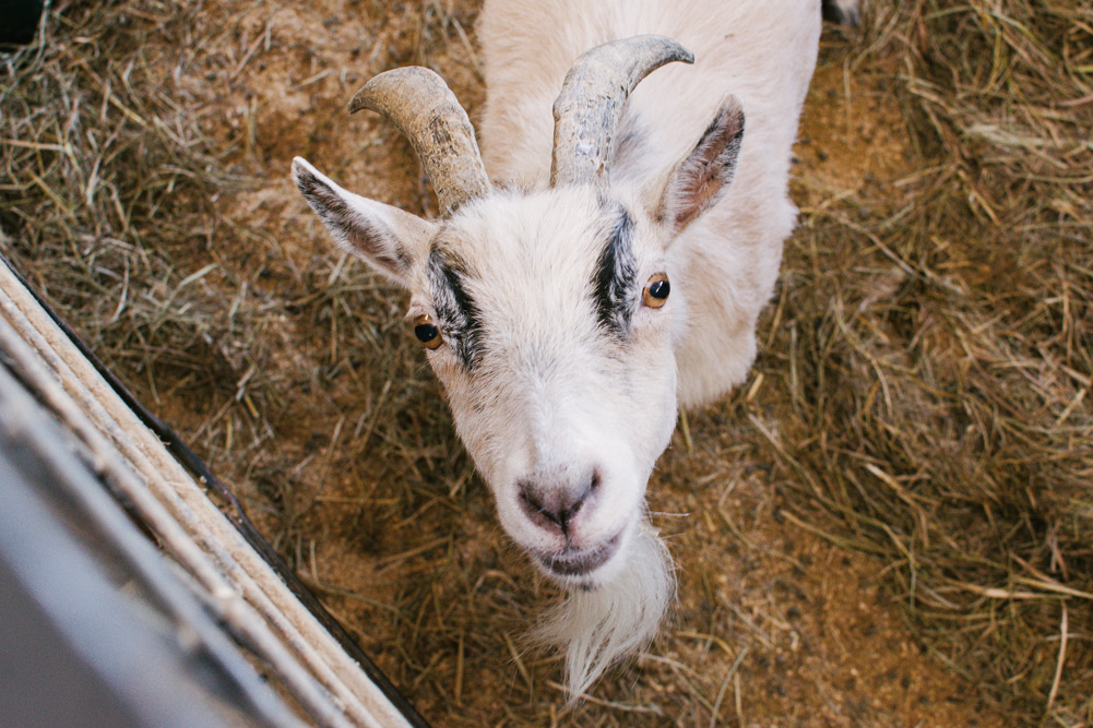 female adult goat lancaster pa