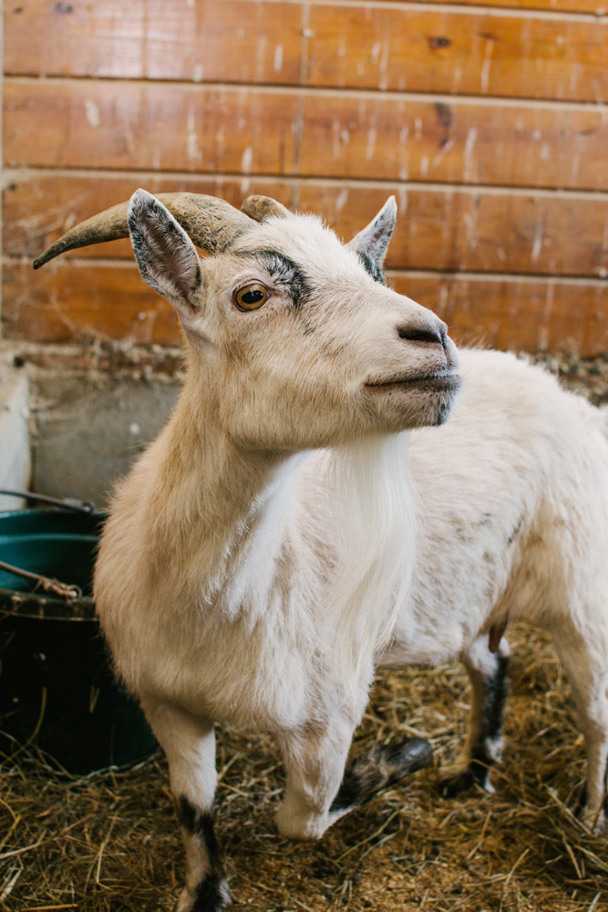 white goat female