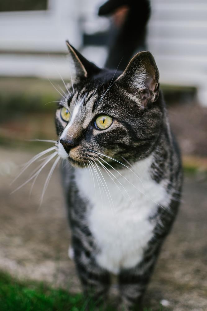 portait of tabby cat