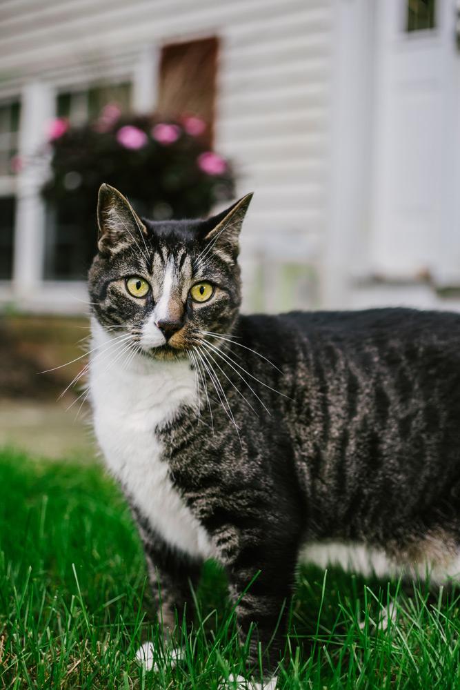 tabby cat pet portrait